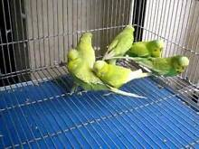 ENGLISH BUDGIES Berwick Casey Area Preview