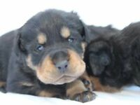 Last Rottweiler Puppy For Sale