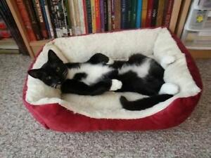 """Young Male Cat - Domestic Short Hair-black and white: """"Victor"""""""