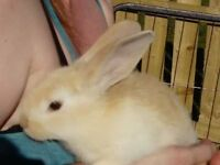 Baby continental giant rabbits, microchipped, change over food