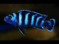 FISH - DEMASONI CICHLID - VARIOUS SIZES