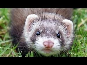 Looking for a ferret in the Peterborough area. Peterborough Peterborough Area image 1