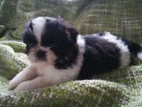 Shih Tzu Karashishi Imperial Puppies BOY
