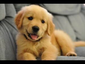 Any golden retriever puppies for sale ?