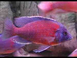 Want to buy cherry fin borleyi