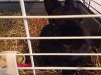 black netherland dwarf rabbit
