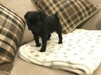 AMAZING QUALITY PUG PUPPIES! 2 GIRLS 1 BOY. READY IN 2 WEEKS!