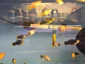 Assorted Platys for sale