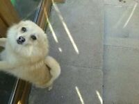 two year old short haired female pomeranian
