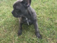 Adorable French Bulldog 5mths old (black)
