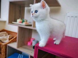 British shorthair blue eyes