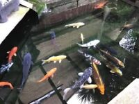Approx 20 koi fish & 1 sturgeon with filters
