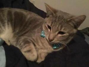 "Young Male Cat - Tabby - Grey: ""Benny"""