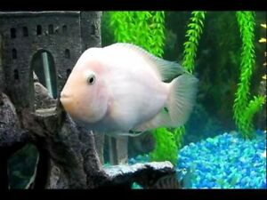 African cichlids - breeding pair - white convicts