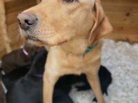 Labrador chunky puppies