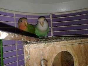 Pair of peach face lovebirds