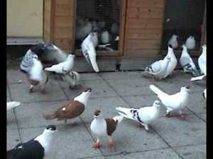 Afghani pigeons for sale sherazi
