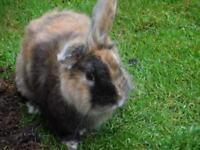 Beautiful male rabbit (Phantom)