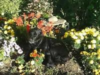 "Senior Female Dog - Labrador Retriever-Spaniel: ""Sophie"""