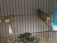 Gloucester canaries