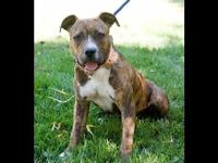 Beautiful female staff cross boxer puppy needing a home!!