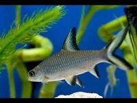 """Silver Shark 3-4"""" for sale - live tropical fish"""
