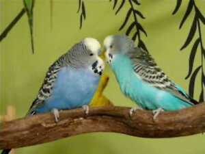 Looking for free Budgies