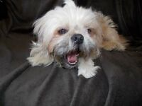 2 YEAR OLD SHIH TZU MALE LOOKING FOR GOOD HOME.