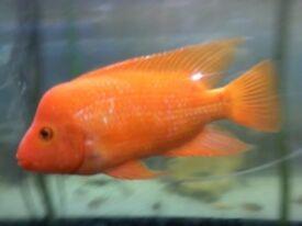 Red Midas chiclid fish