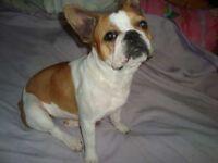 French Bulldog Pups Ready Now Girl