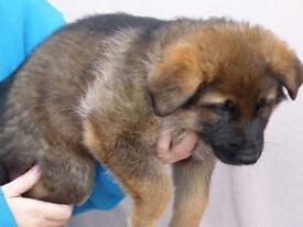 nice germany shepherd puppies for sale