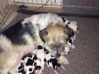 Outstanding litter of Jack Russell puppies