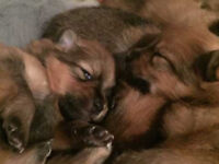 teddy bear pomeranian puppies