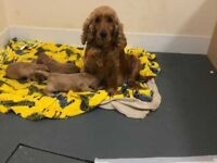 Beautiful apricot F1 cockapoo puppies for sale