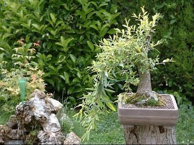 Outdoor Bonsai Tree - Black Willow Bonsai Tree - Thick Trunk Live Indoor or Outdoor Bonsai Tree