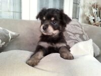 Dark blue / white longhaired chihuahua / ready