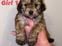 Fb1 Jackapoo Puppies Ready to leave 9/12/20