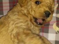 f1b miniture labradoodle puppies
