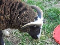 Balwen Rams for Sale ALL GONE for meat now !!