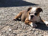 got some lovely english bulldog puppy for sale