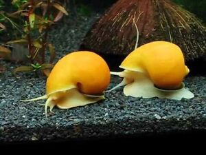Wanted:  Apple Snails