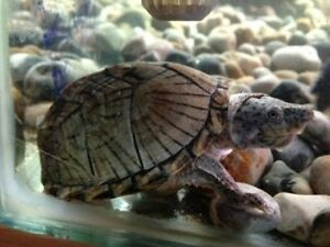 Razorback Musk Turtles