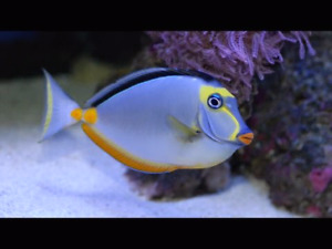 Looking for a naso tang or angelfish