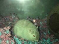 2 baby gerbils