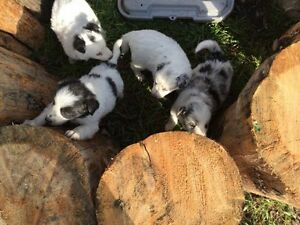 Gorgeous Purebred Border Collie Puppies Ready June 19th