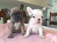 French bulldog puppies (FREE TO GOOD HOME)
