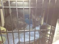 """Young Male Cat - Russian Blue: """"Harry"""""""