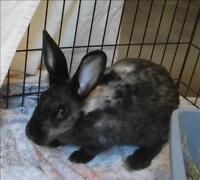"Young Female Rabbit - American: ""Fauna"""