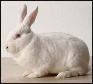 Rabbit Meat for sale - Contracts wanted