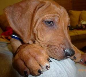 Rhodesian Ridgeback puppies Hornsby Hornsby Area Preview